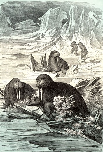 "Stock Photo: 1746-1899 Hunting Walrus. Walrus (Odobenus rosmarus), large semi-aquatic mammal native to Arctic regions was hunted for its flesh, hide and its ivory tusks.  Chromoxylograph from ""The Polar World"" by G Hartwig (London, 1874)"
