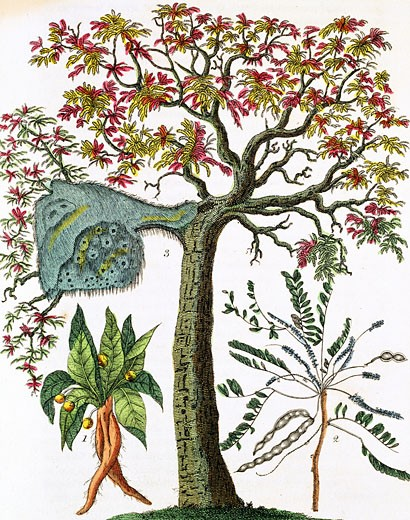 Stock Photo: 1746-2080 Mandrake (bottom left) Sensitive plant (bottom right) & Acacia. Print published London c1795