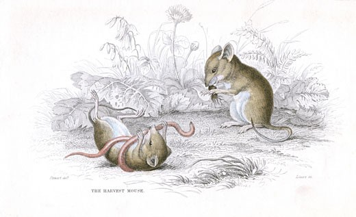 Stock Photo: 1746-2568 Harvest Mouse (Micromys minutus) of the Old World. At 6 to 7 1/2 cm it is one of the smallest rodents. , From A History of British Quadrupeds by William MacGillivray, (Edinburgh, 1838), one of the volumes in William Jardines Naturalists Library series. Hand-coloured engraving.