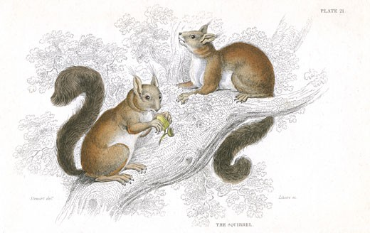Red Squirrel (Sciurus vulgaris), tree-living rodent native to Europe and Asia, From A History of British Quadrupeds by William MacGillivray, (Edinburgh, 1838), one of the volumes in William Jardines Naturalists Library series. Hand-coloured engraving. : Stock Photo