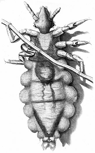 Stock Photo: 1746-2662 Human Louse, a wingless parasitic insect. Engraving from Robert Hooke Micrographia London 1665. Now known to be vector for Epidemic typhus