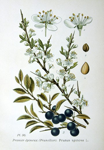 Blackthorn or Sloe (Prunus spinosa),  from Amedee Masclef Atlas des Plantes de France : Stock Photo