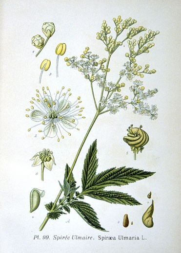 Stock Photo: 1746-3487 Meadowsweet (Spirea ulmaria or Filipendula ulmaria),  from Amedee Masclef Atlas des Plantes de France