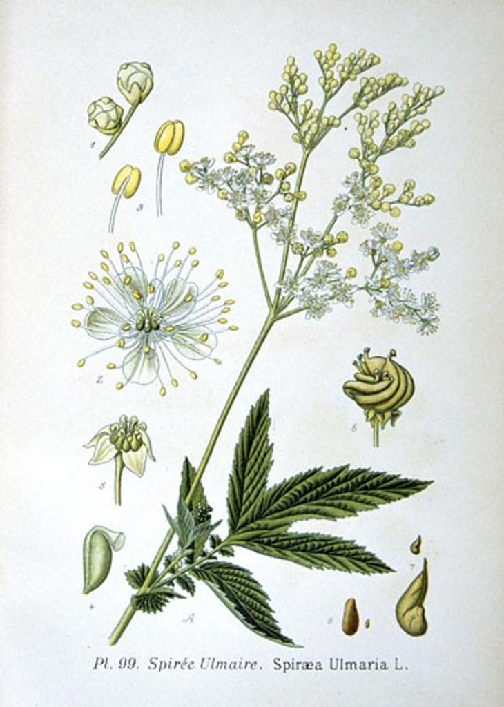Meadowsweet (Spirea ulmaria or Filipendula ulmaria),  from Amedee Masclef Atlas des Plantes de France : Stock Photo