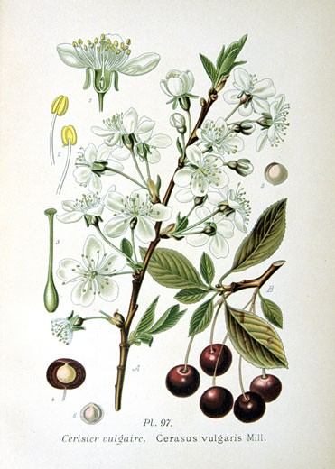 Sour Cherry (Cerasus vulgaris or Prunus cerasus),  from Amedee Masclef Atlas des Plantes de France : Stock Photo