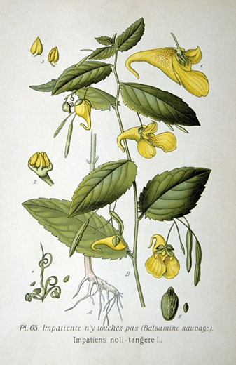 Yellow Balsam or Touch-me-not (Impatiens noli-tangere),  from Amedee Masclef Atlas des Plantes de France : Stock Photo