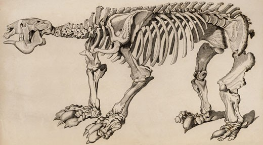 Composite skeleton of a Megatherium, From The Animal Kingdom by George Cuvier, Engraving : Stock Photo
