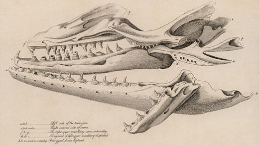 Mosasaurus. Huge skull found in a quarry at Fort St Peter near Maastricht, Netherlands, in 1780, From The Animal Kingdom by George Cuvier (London, 1830), Engraving : Stock Photo