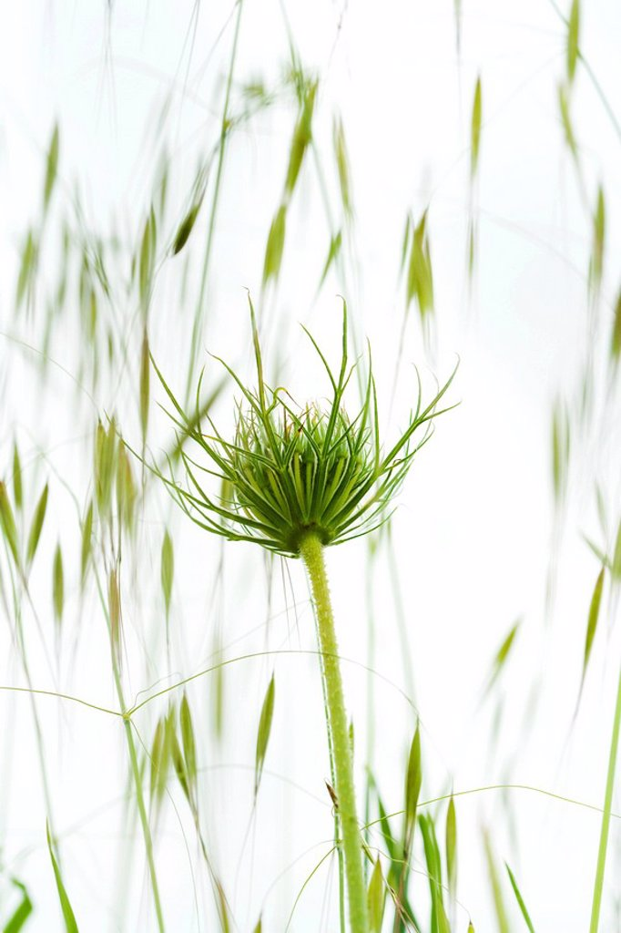 Dandelion growing, low angle view : Stock Photo