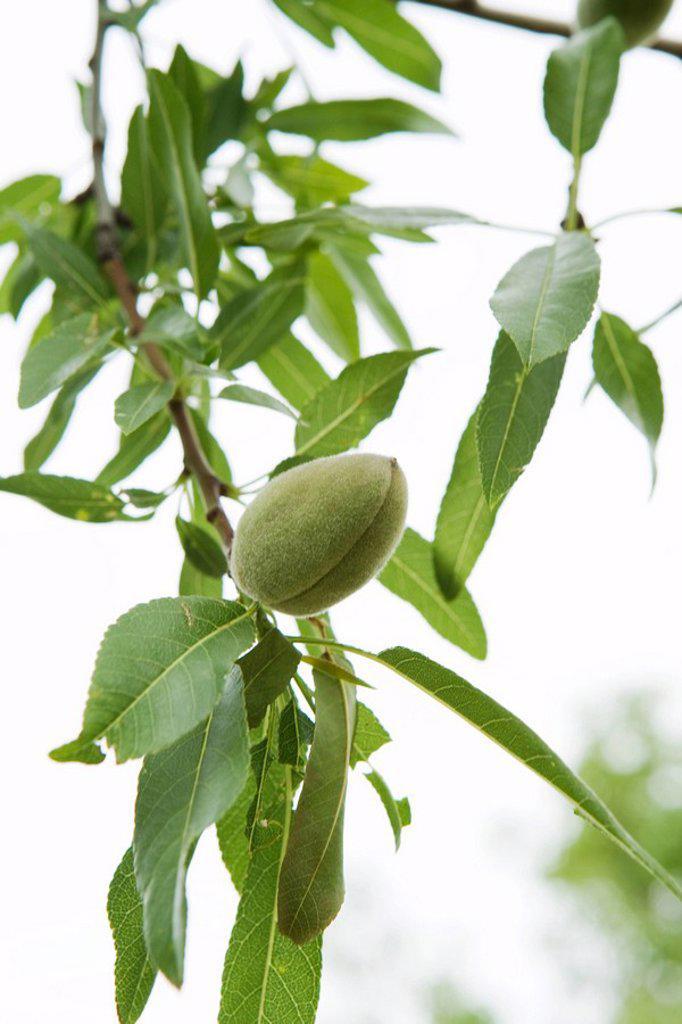 Almond tree, close-up : Stock Photo