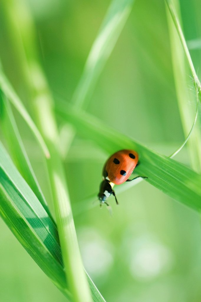 Ladybug crawling on leaf of grass : Stock Photo