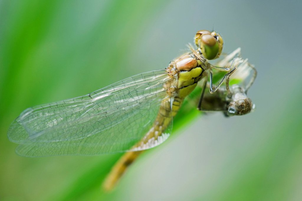 Stock Photo: 1747R-11234 Dragonfly newly emerged from old exoskeleton drying wings