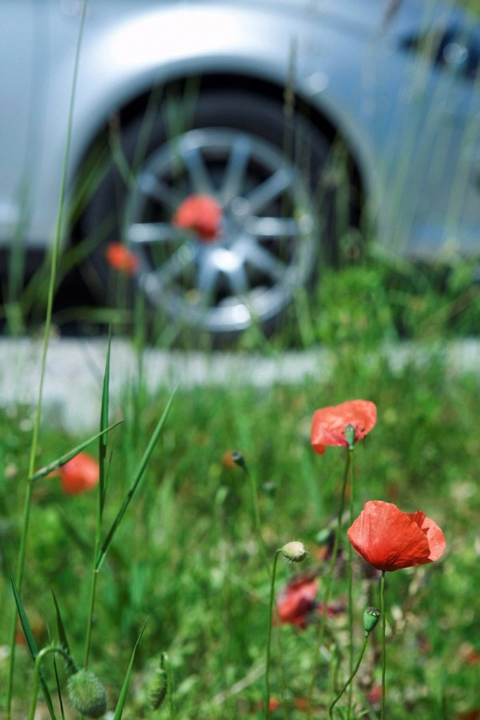 Poppies, close-up, car wheel in background : Stock Photo