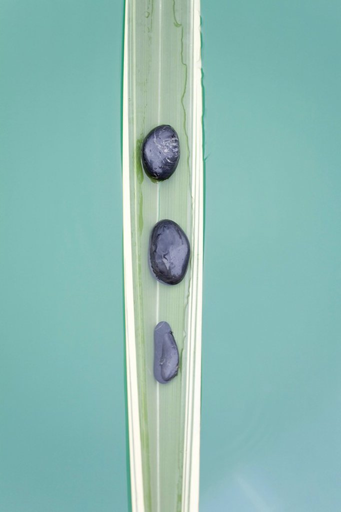 Line of stones on sinking palm leaf : Stock Photo
