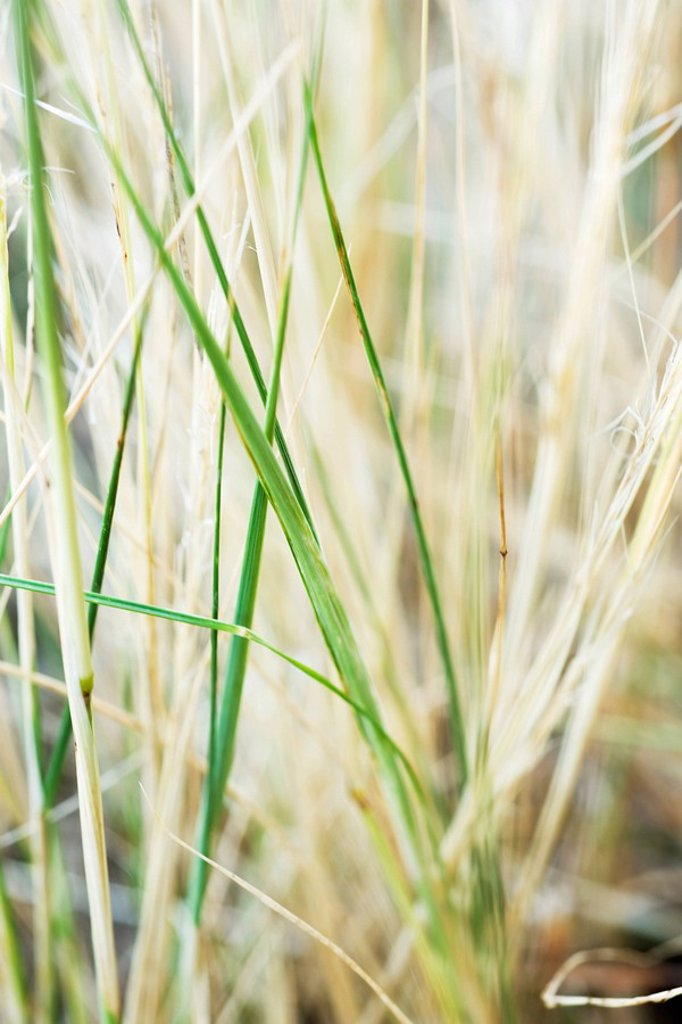 Tall grass, close-up : Stock Photo