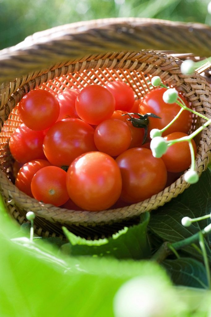 Ripe cherry tomatoes in wooden basket : Stock Photo