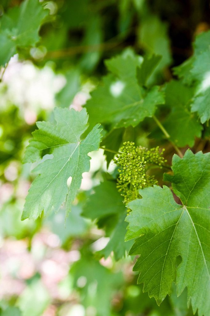 Leafy grapevines : Stock Photo