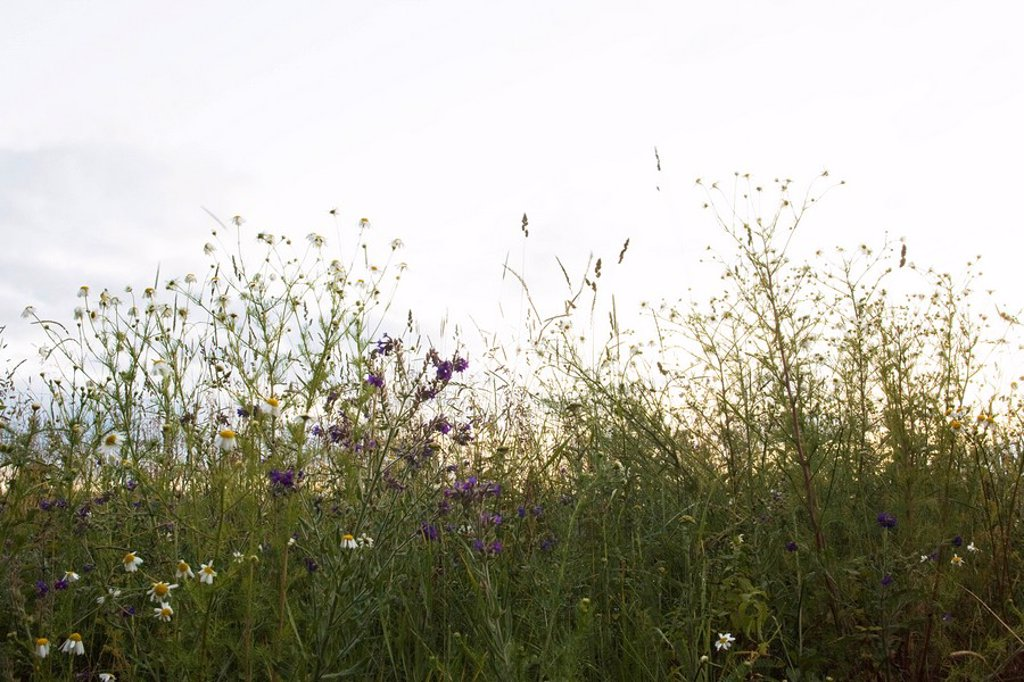 Stock Photo: 1747R-12011 Wildflowers against pale sky