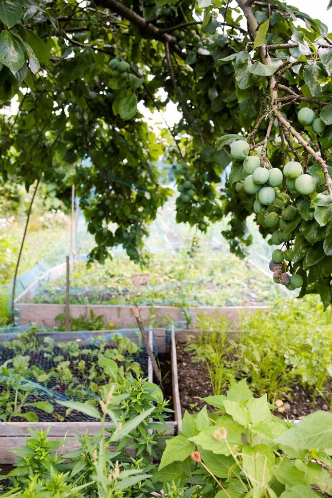 Stock Photo: 1747R-12016 Netting protecting vegetables growing in garden