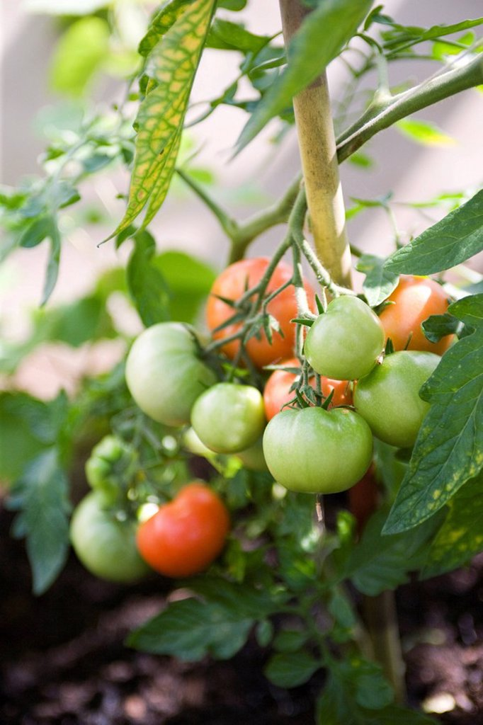 Stock Photo: 1747R-12104 Tomatoes ripening on vine