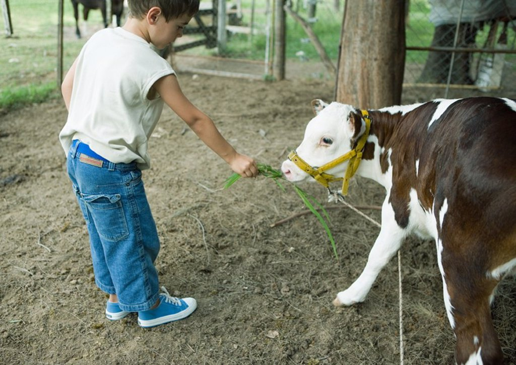 Boy holding out vegetation for calf : Stock Photo