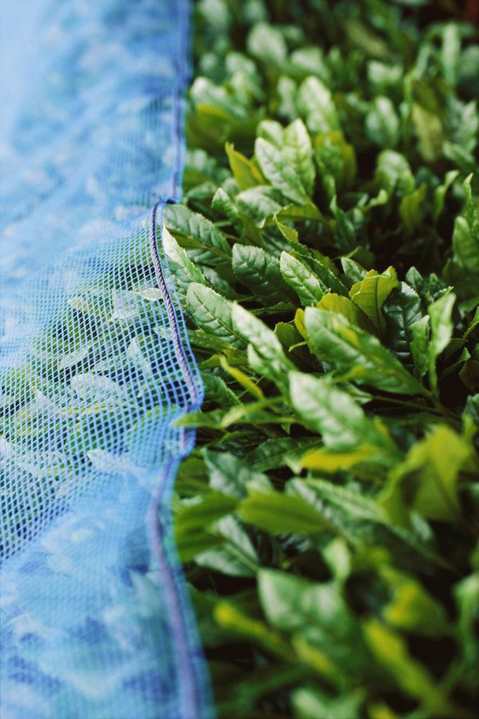 Stock Photo: 1747R-13983 Tea plants covered with netting, Japan