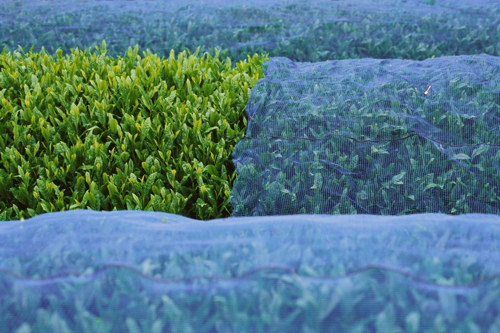 Tea plants covered with netting, Japan : Stock Photo