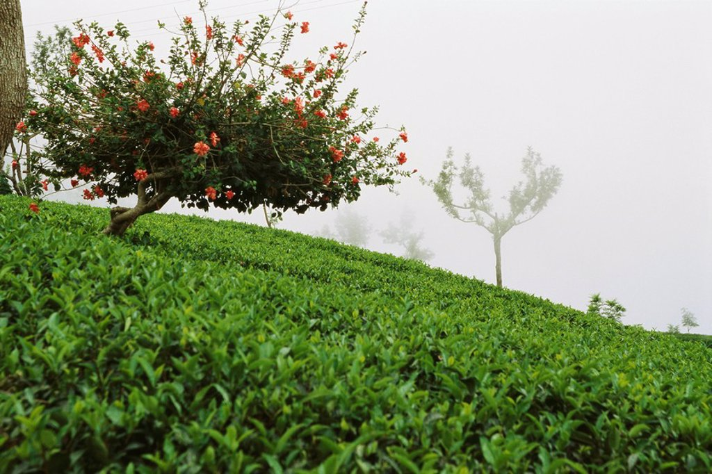 Tea plantation in mist, Darjeeling, India : Stock Photo