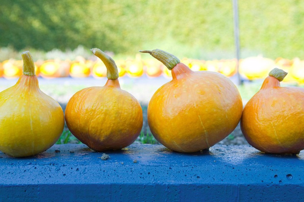 Stock Photo: 1747R-15660 Winter squash Cucurbitaceae lined up side by side