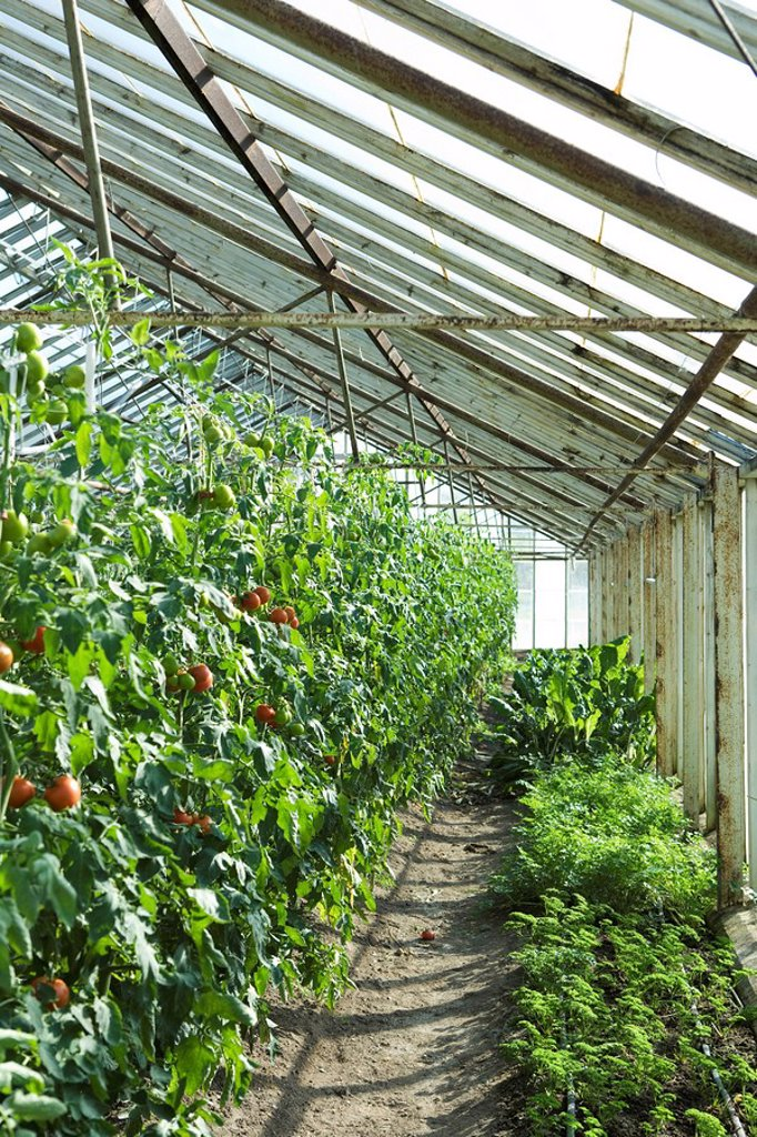 Tomatoes and herbs growing in greenhouse : Stock Photo