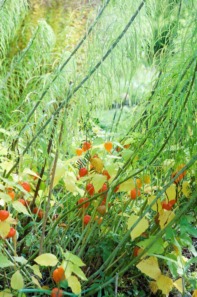Winter cherry Physalis alkekengi growing : Stock Photo