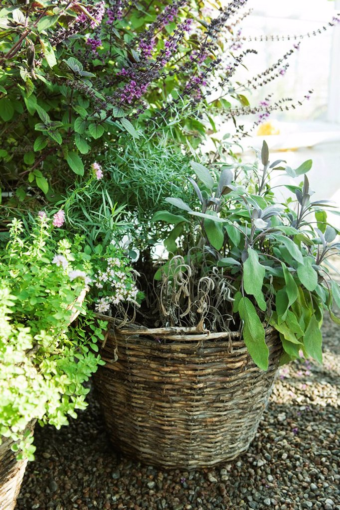 Wicker basket growing a variety of plants : Stock Photo