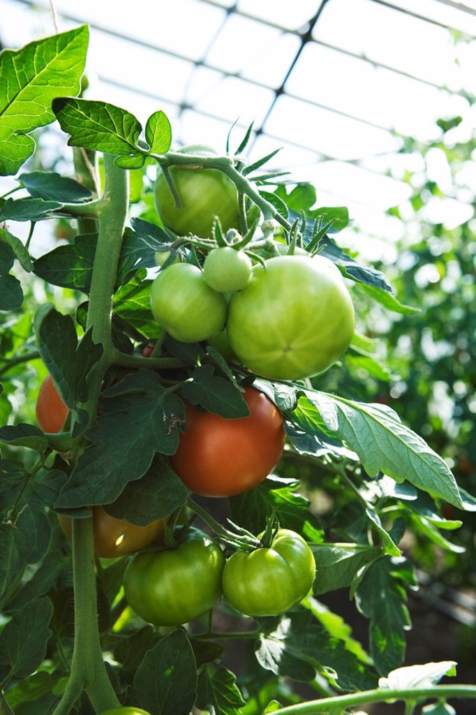 Tomatoes growing in greenhouse, close-up : Stock Photo