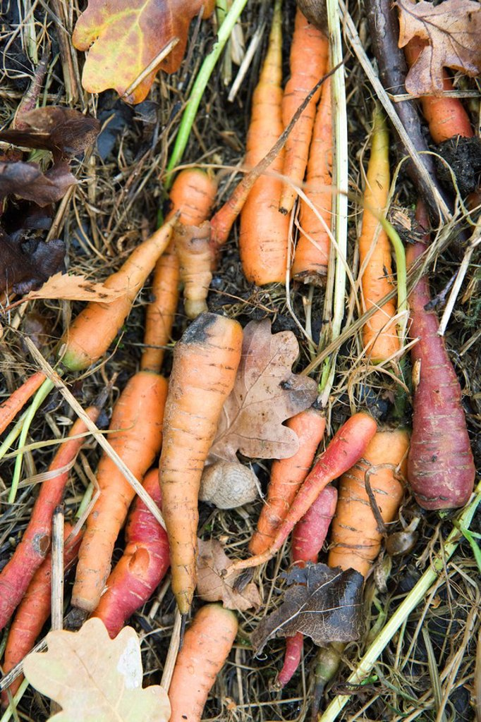 Stock Photo: 1747R-15690 Carrots on the ground