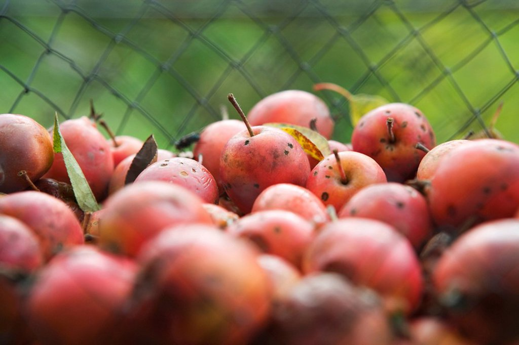 Stock Photo: 1747R-15734 Organic apples, close-up