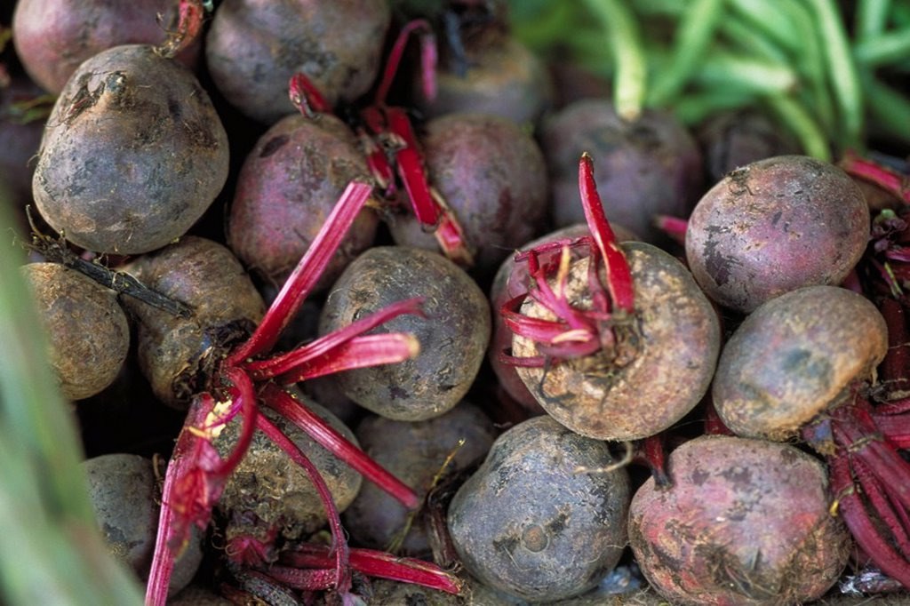 Fresh beets : Stock Photo