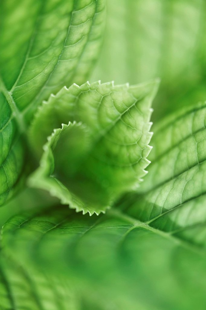 Hydrangea leaves, extreme close-up : Stock Photo