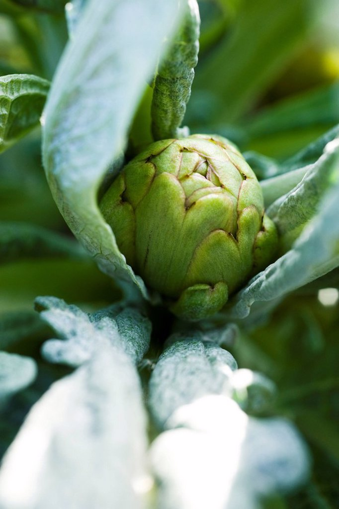 Stock Photo: 1747R-16256 Young artichoke, extreme close_up