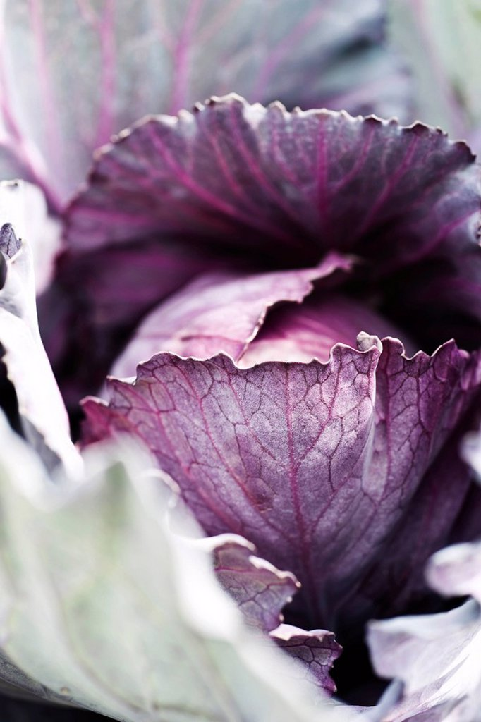 Stock Photo: 1747R-16262 Purple cabbage, extreme close_up