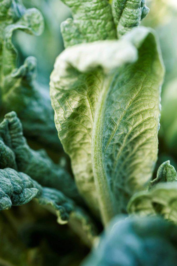 Artichoke leaves, close_up : Stock Photo