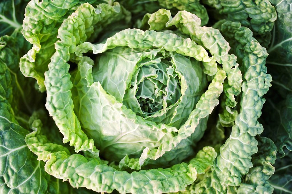Savoy cabbage, extreme close_up : Stock Photo