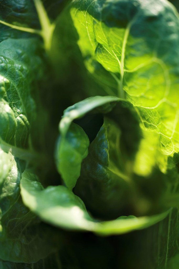 Leaf vegetable growing, extreme close_up : Stock Photo