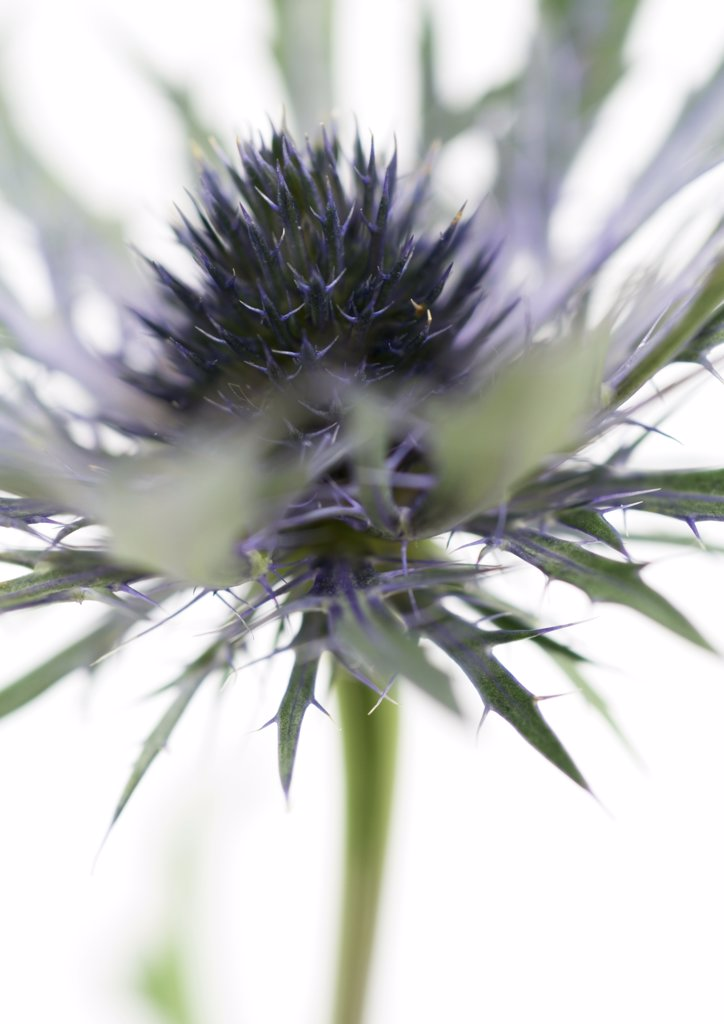 Thistle flower, close-up : Stock Photo