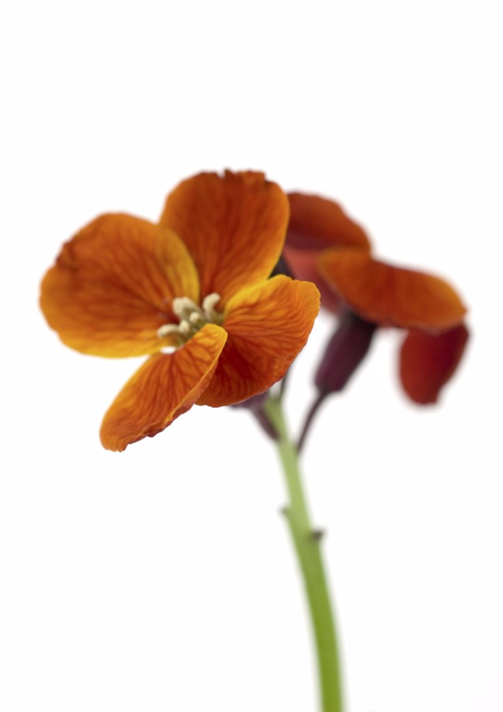 Orange wallflower, close-up : Stock Photo
