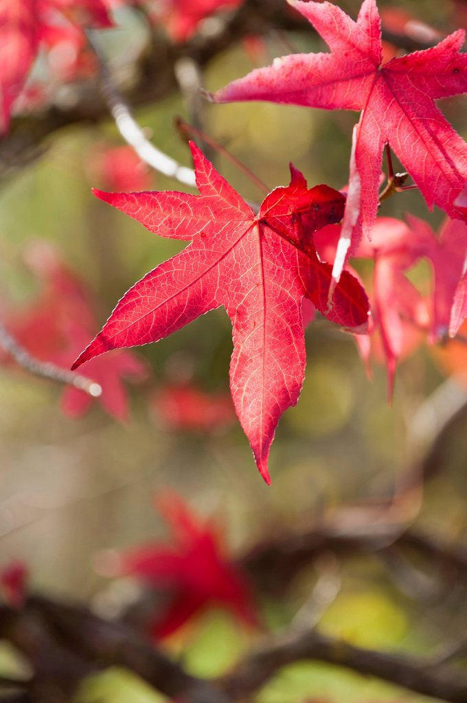 Red maple leaves in autumn : Stock Photo
