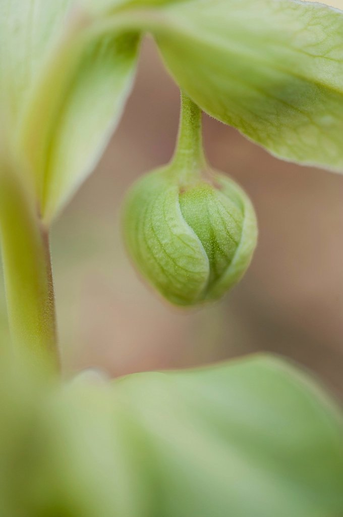 Stock Photo: 1747R-17338 Flower bud, close_up