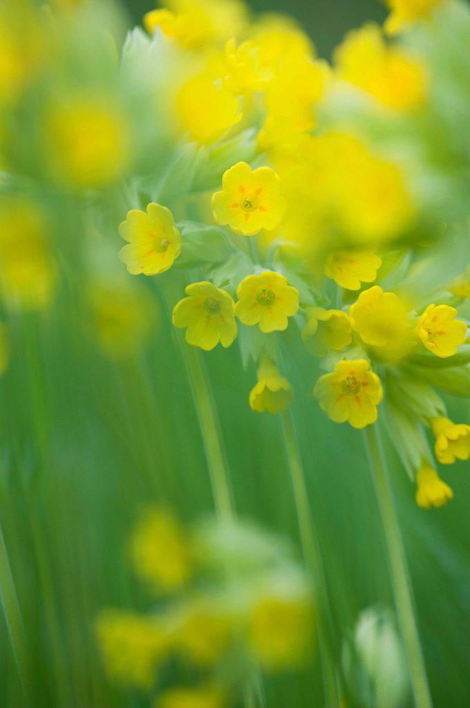 Stock Photo: 1747R-17377 Cowslip Primula veris