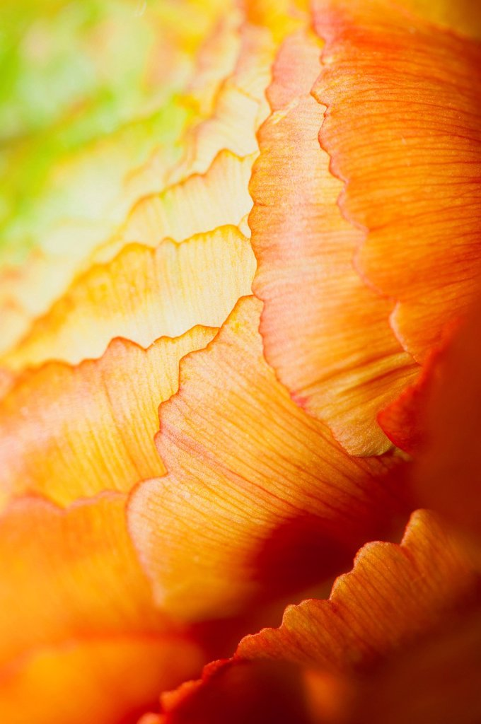 Stock Photo: 1747R-17379 Ranunculus flower head, extreme close_up