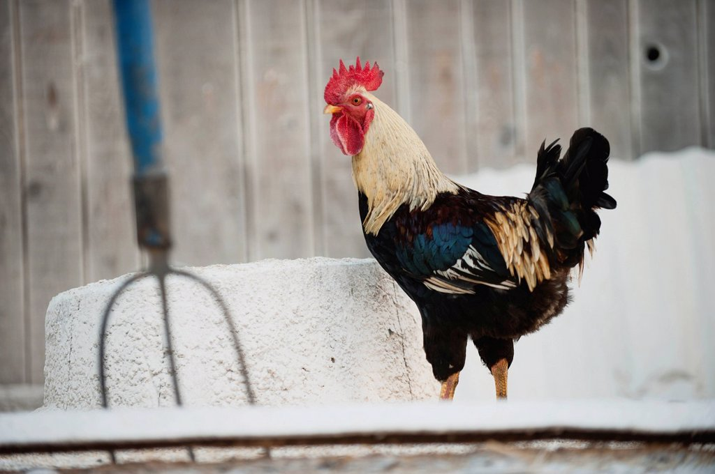 Stock Photo: 1747R-17395 Rooster