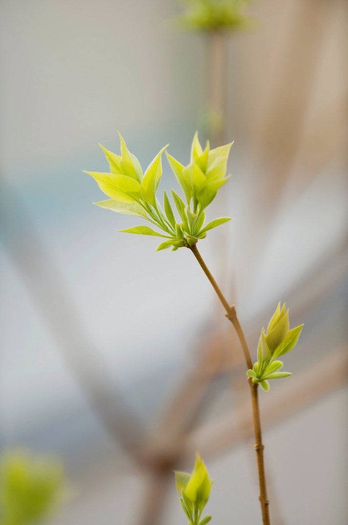 Stock Photo: 1747R-17406 Budding lilac leaves